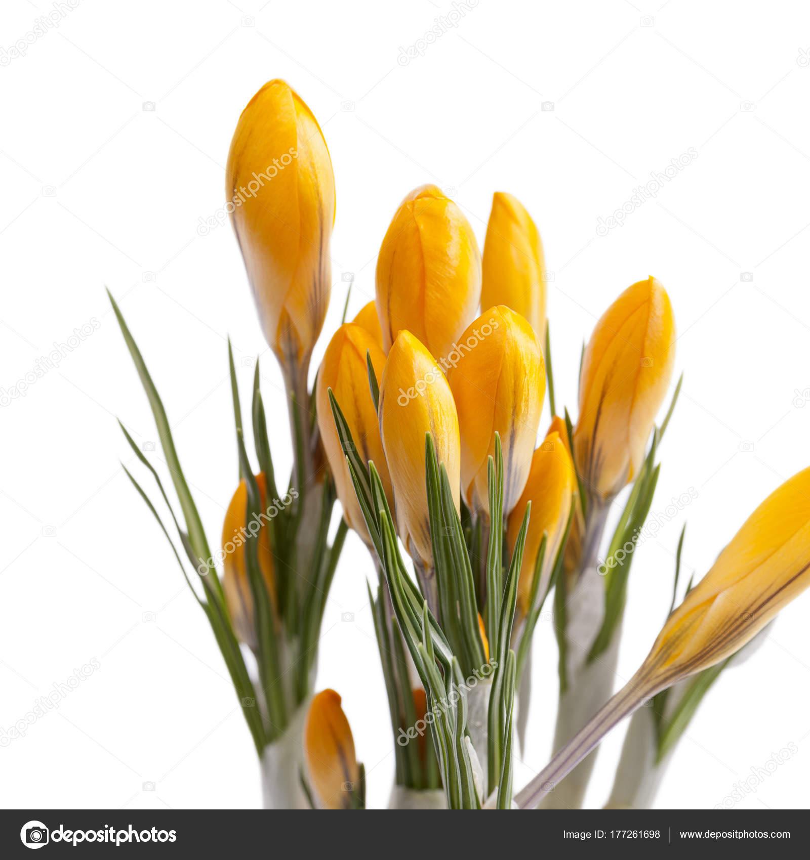 Primavera de flores de azafrán amarillo aislado sobre fondo blanco — Foto  de Stock