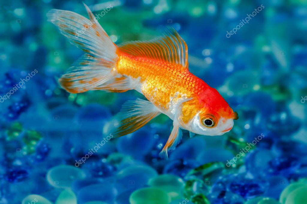 Gold Fish Goldfish Single One In Aquarium Close Up Stock Photo