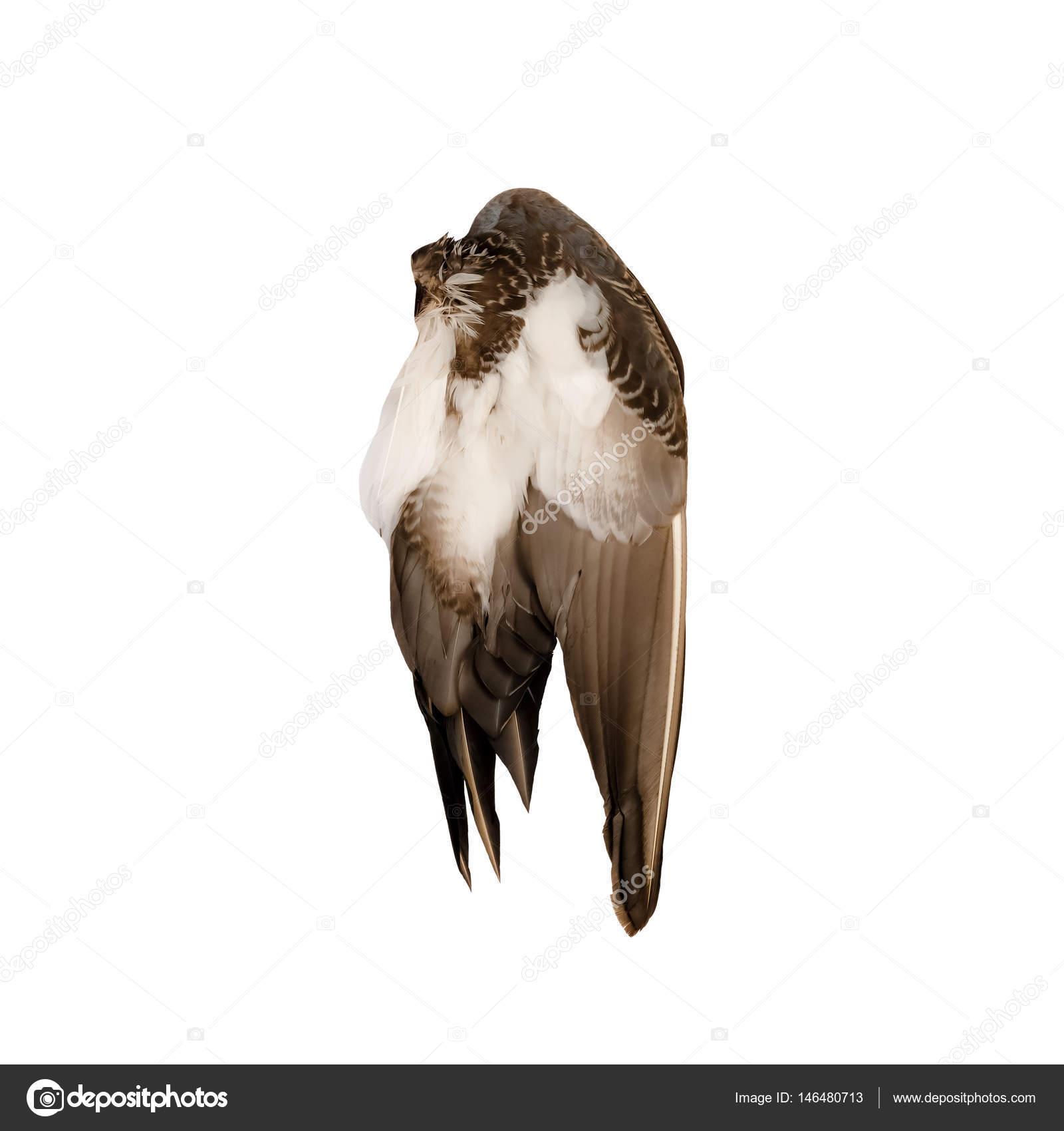 Fondo blanco de Ángel marrón de ala de pájaro de pato real silvestre ...