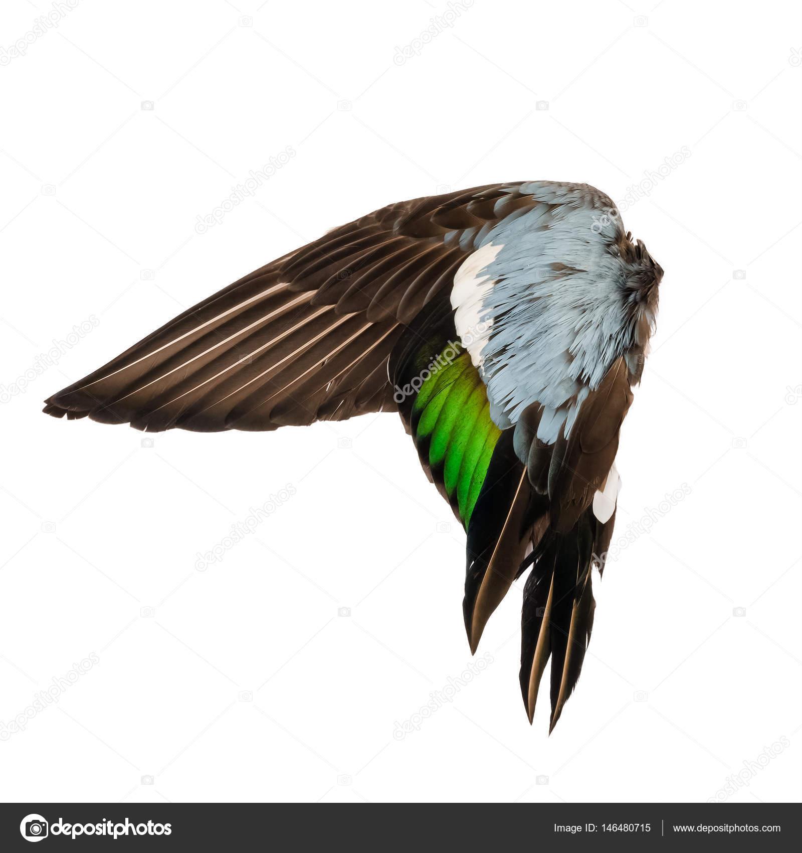 Pato real silvestre aves ala angel marrón gris verde azul fondo ...