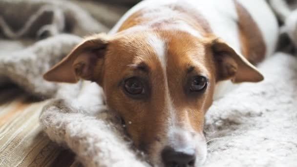 Trauriger Jack Russell Terrier ruht auf einer Decke