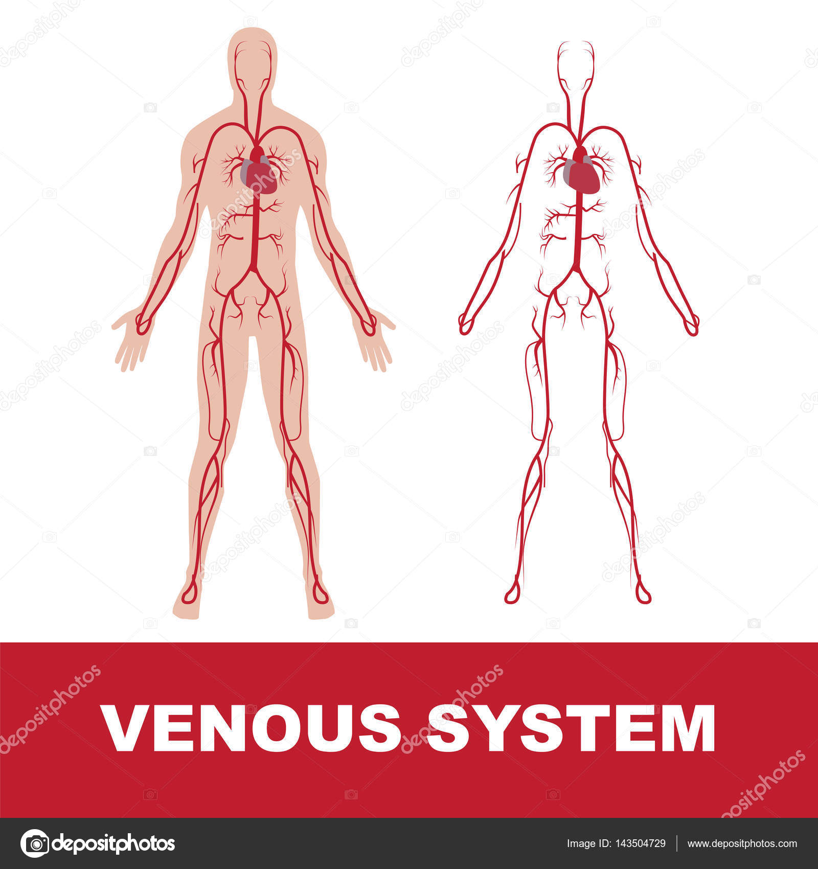 Human Venous System Stock Vector Paveu 143504729