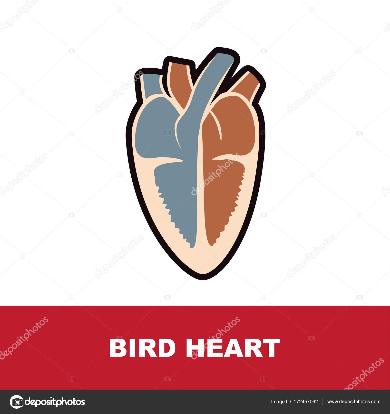 bird heart anatomy — Stock Vector © paveu #172457062