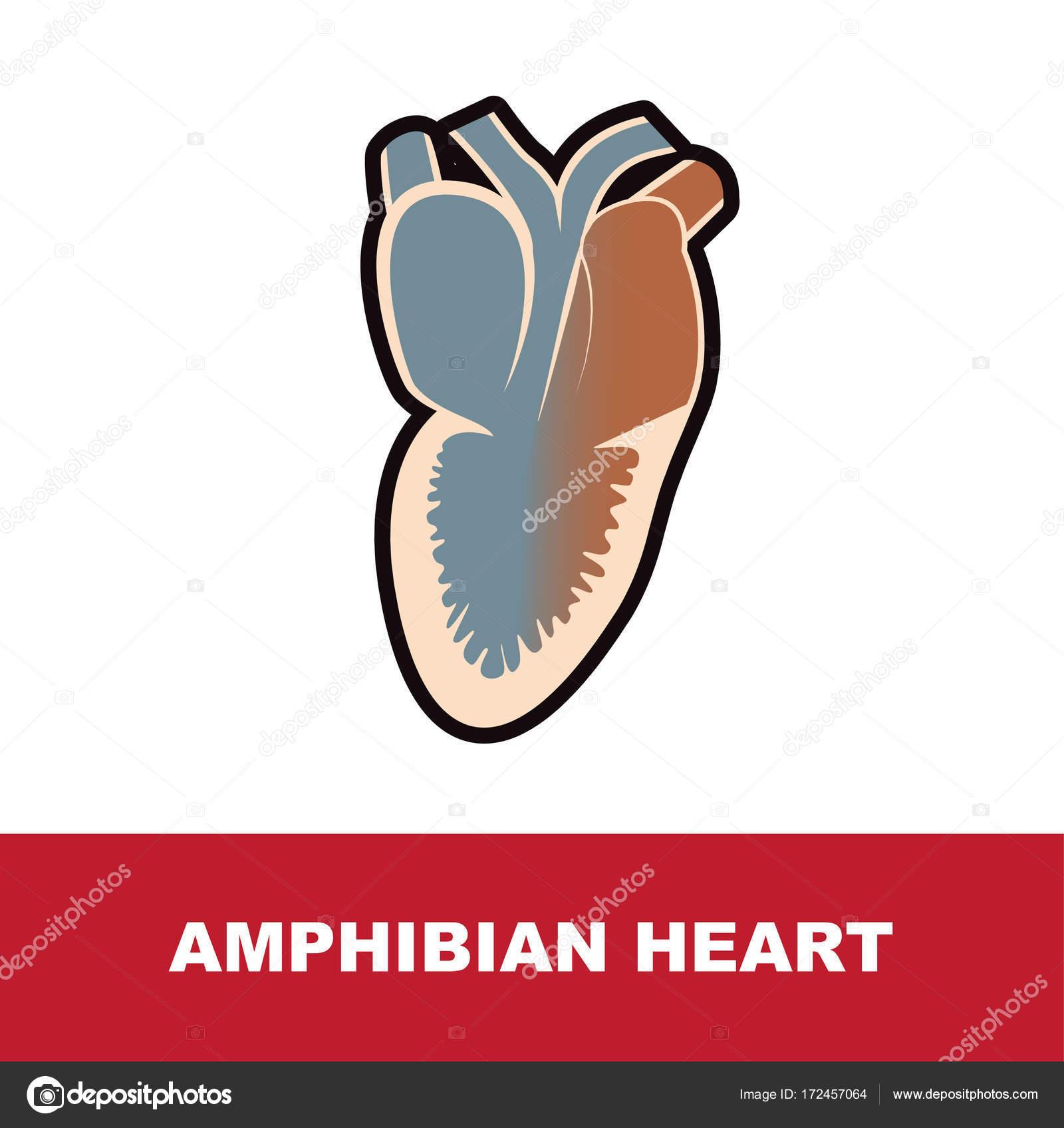 Anatomía del corazón de anfibios — Vector de stock © paveu #172457064