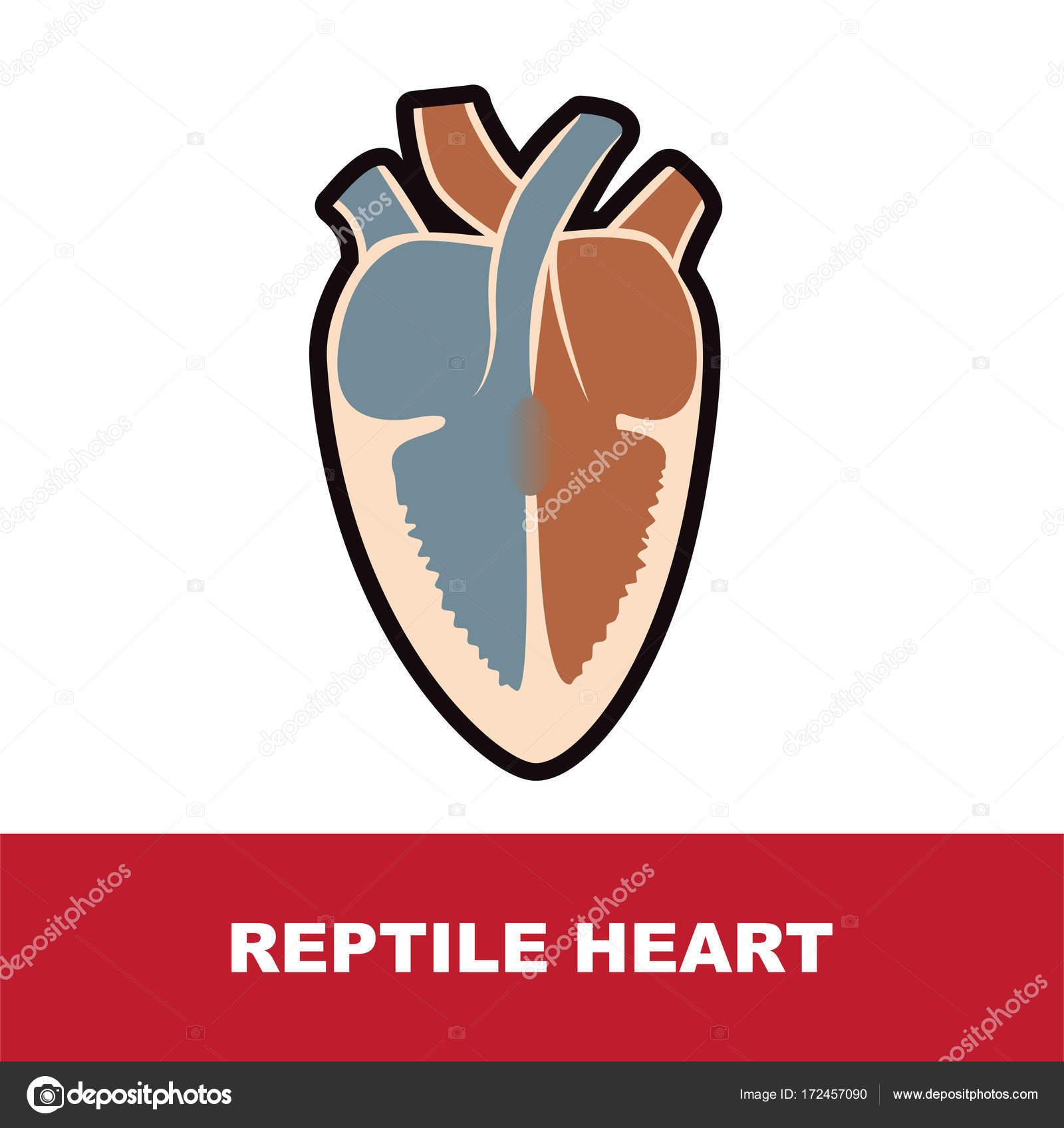 Reptile heart anatomy stock vector paveu 172457090 reptile schematic heart anatomy vector illustration on white vector by paveu ccuart Choice Image