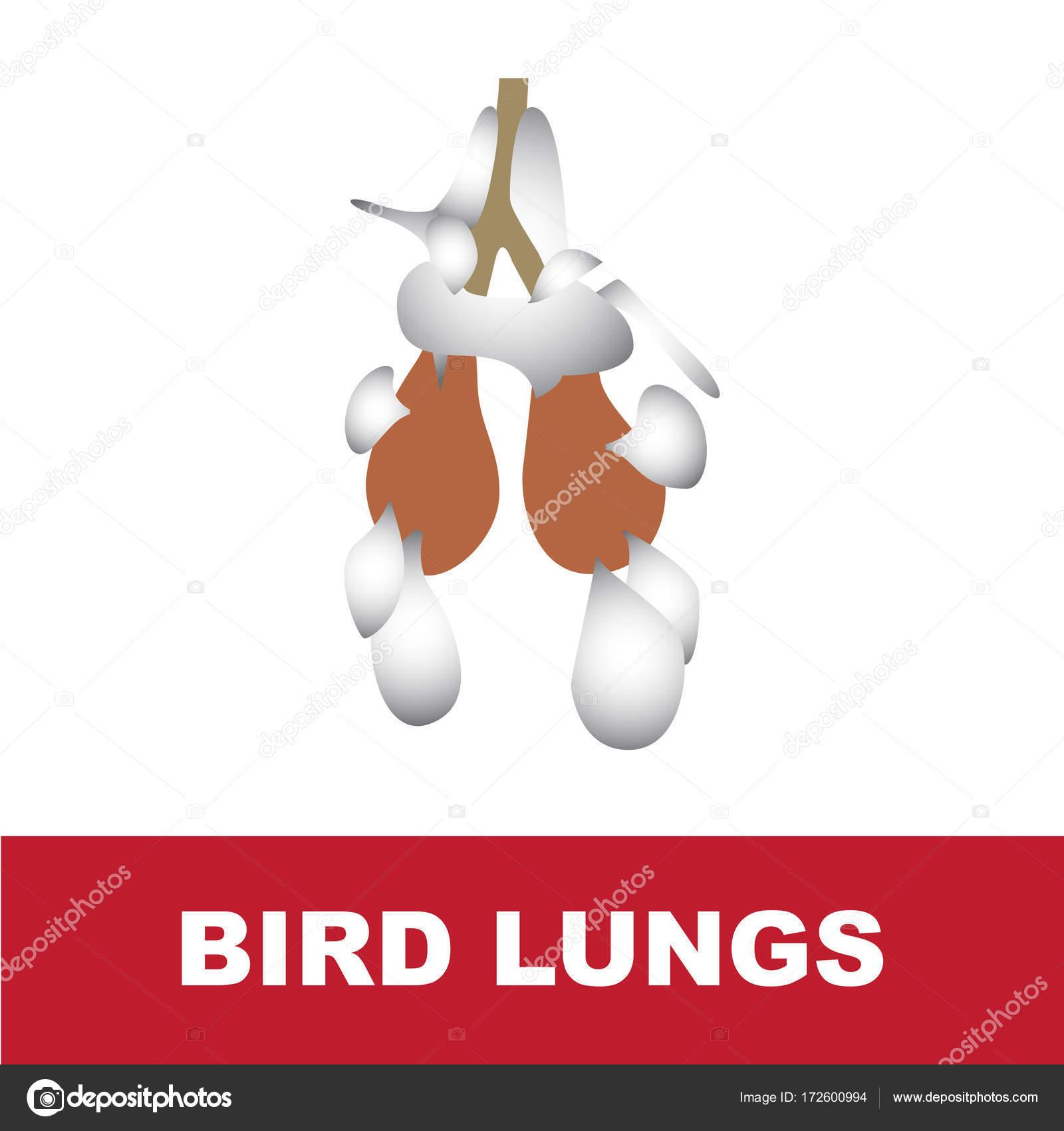 Bird Schematic Lung Anatomy Stock Vector Paveu 172600994