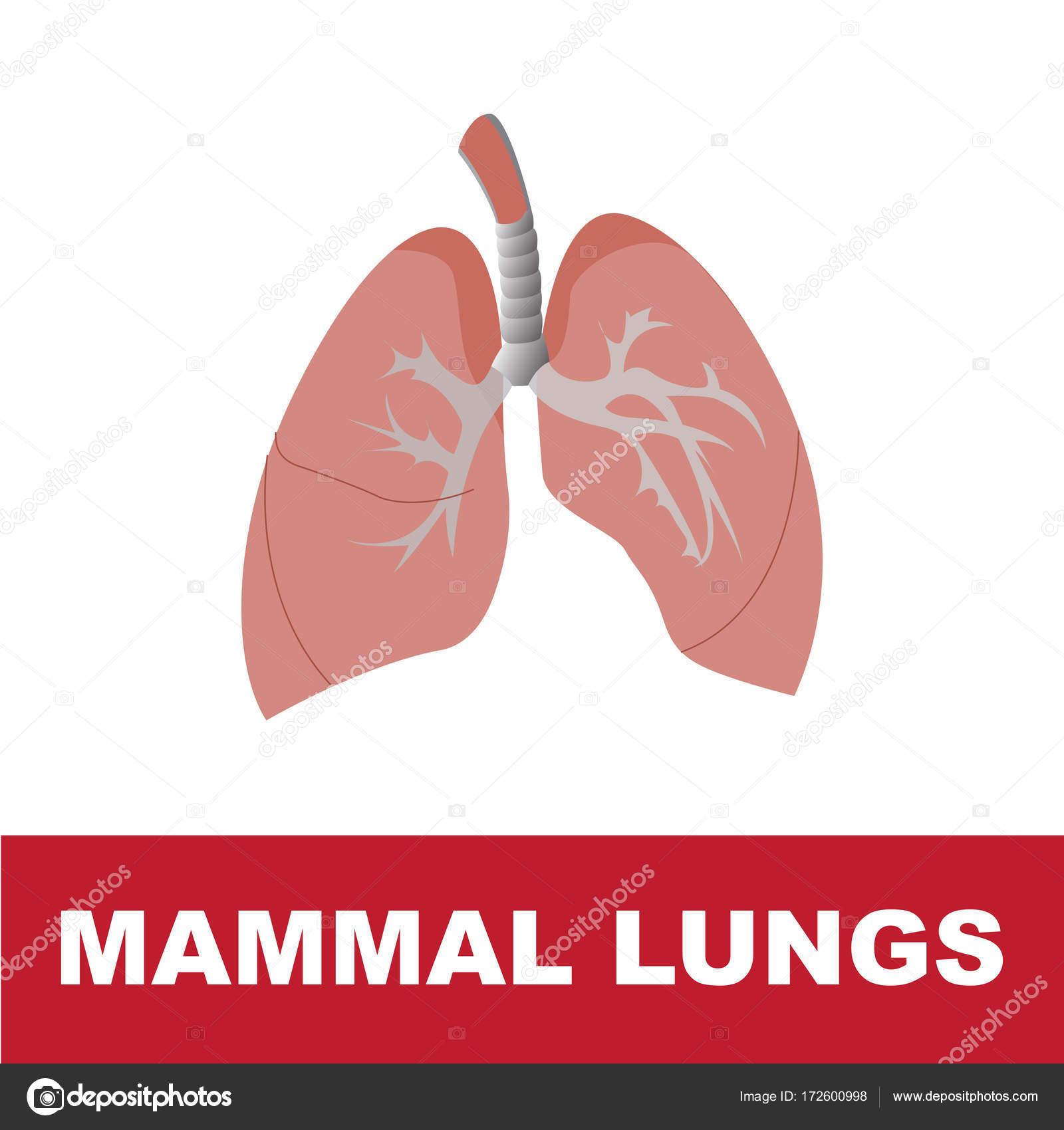 Säugetier schematische Lunge Anatomie — Stockvektor © paveu #172600998
