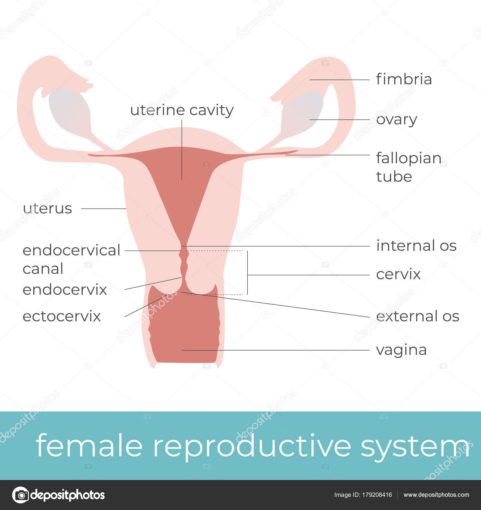 Vector Illustration Female Reproductive System Great Educational ...