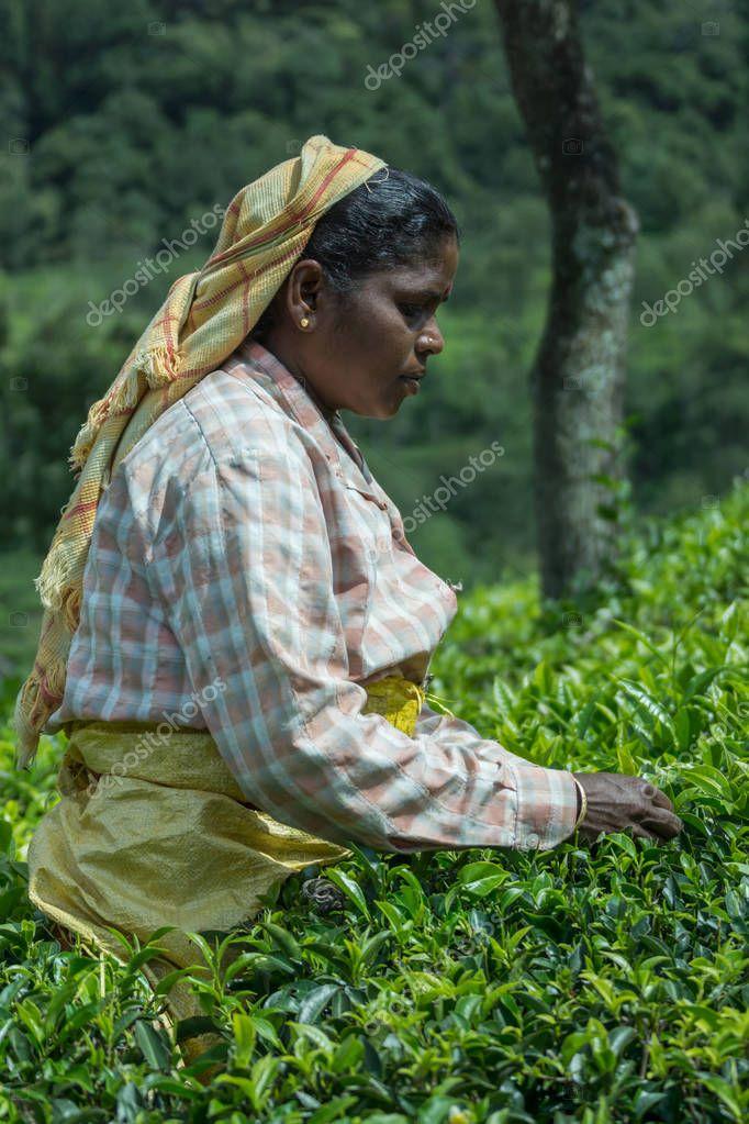 Side portrait of women picking tea leaves.
