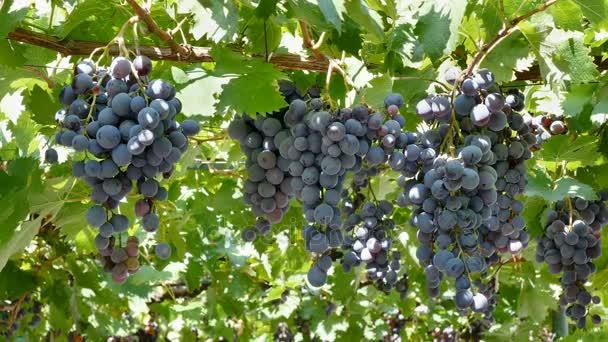 Černá muscat hroznové ovoce připraven na sklizeň