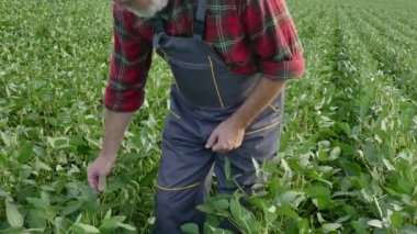 Farmer examining green soybean crop and plant