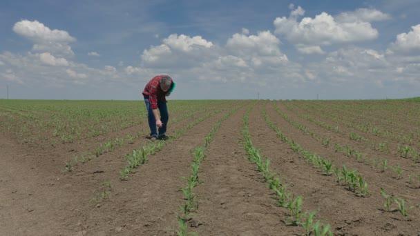 Agricoltura, agricoltore o agronomo, ispezione di qualità di grano nel campo, primavera tempo