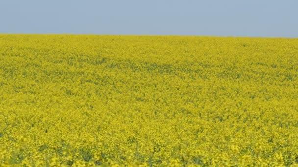 Olja Våldtäkt Blommande Raps Växter Fältet Med Blå Himmel