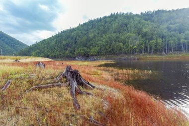Beautiful landscape. Zeya reservoir, Amur region. Spectacular coast of a calm lake. Red grass spread among hemp trees with roots.