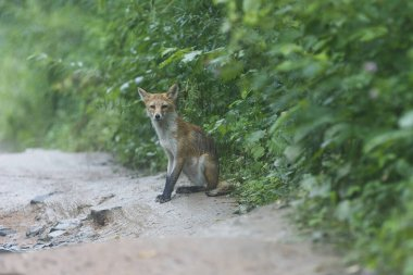Young wild red fox. An exhausted fox stands on a dirt forest road and begs for food.