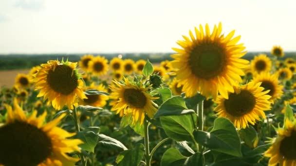 Pole kvetoucích slunečnic. Slunečnice zblízka a včely ji opylují. Zemědělská výroba. Farmaření. Pěstování potravin