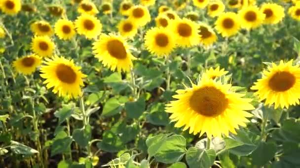 Pole kvetoucích slunečnic. Zemědělská výroba. Farmaření. Pěstování potravin.