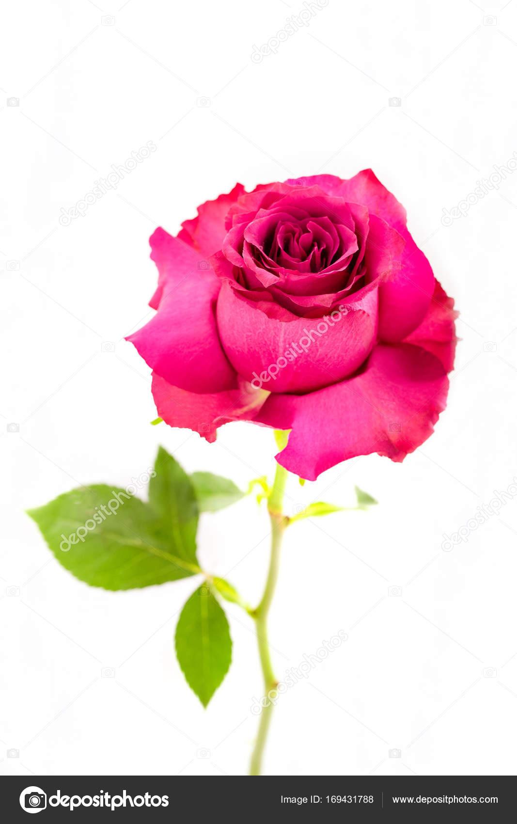 Single Pink Flower Stock Photo Ellenamani 169431788