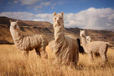 Alpacas in Andes Mountains, Peru