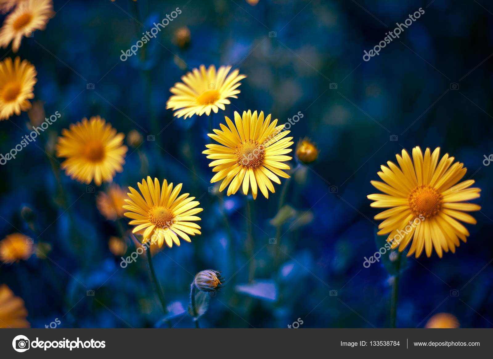 Camomile chamomel daisy chain wheel an aromatic european plant camomile chamomel daisy chain daisy wheel an aromatic european plant of the daisy family with white and yellow daisylike flowers photo by alexus izmirmasajfo