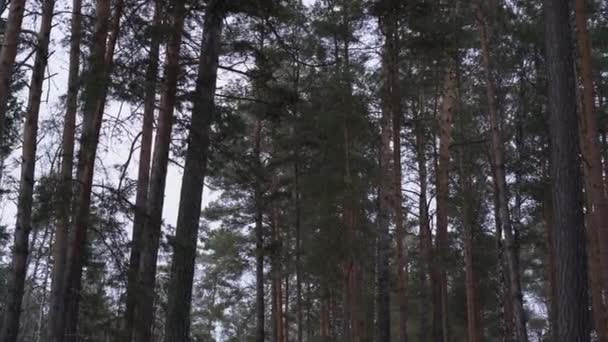 High pine trees slowly swaying in the wind in the forest against the sky. 4k uhd panorama