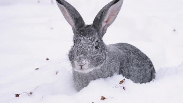 ein graues Kaninchen taucht auf der Suche nach Nahrung in den Schnee ein.