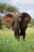 Slon v přírodním parku Serengeti