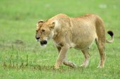 lion in african natural park