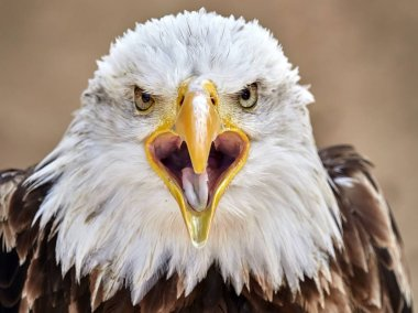 The Bald Eagle portrait
