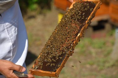Beekeeper holding frame of honeycomb with working bees