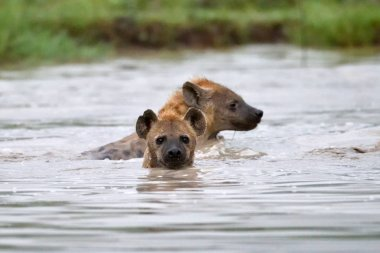 Hyenas in african natural park