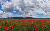 huge field of blooming poppies in summer