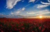 obrovské pole kvetoucí v létě