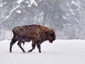 Photo European bison (Bison bonasus)