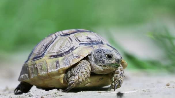 Természetes élőhelyen tüskéscomb-teknős (Testudo graeca)