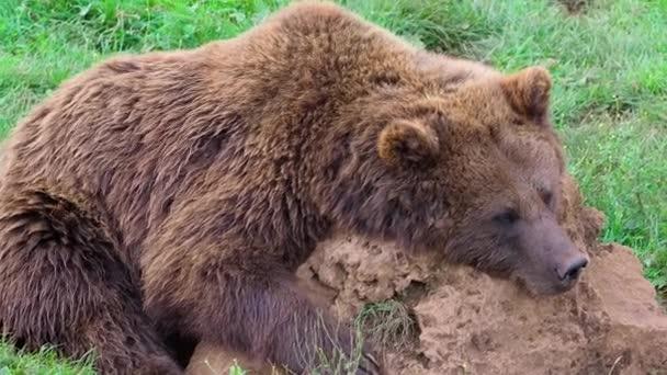 Euroasijský medvěd hnědý (Ursus arctos arctos), také známý jako medvěd hnědý v divočině