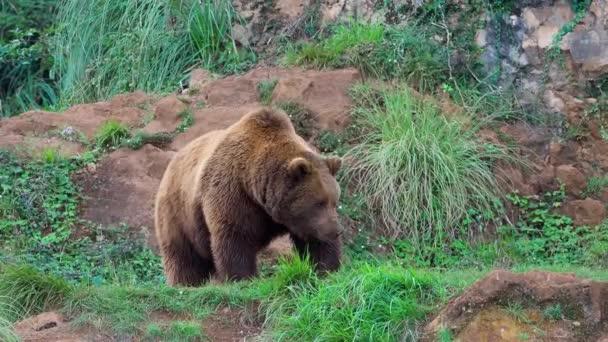Eurasian brown bear (Ursus arctos arctos), also known as the European brown bear in wild