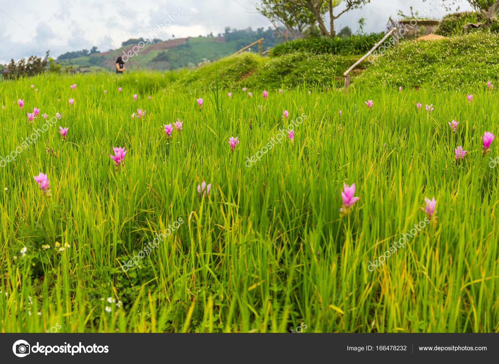 Jardin de fleurs de lotus rose dans Mon Chaem, Chiang Mai, Thaïlande ...