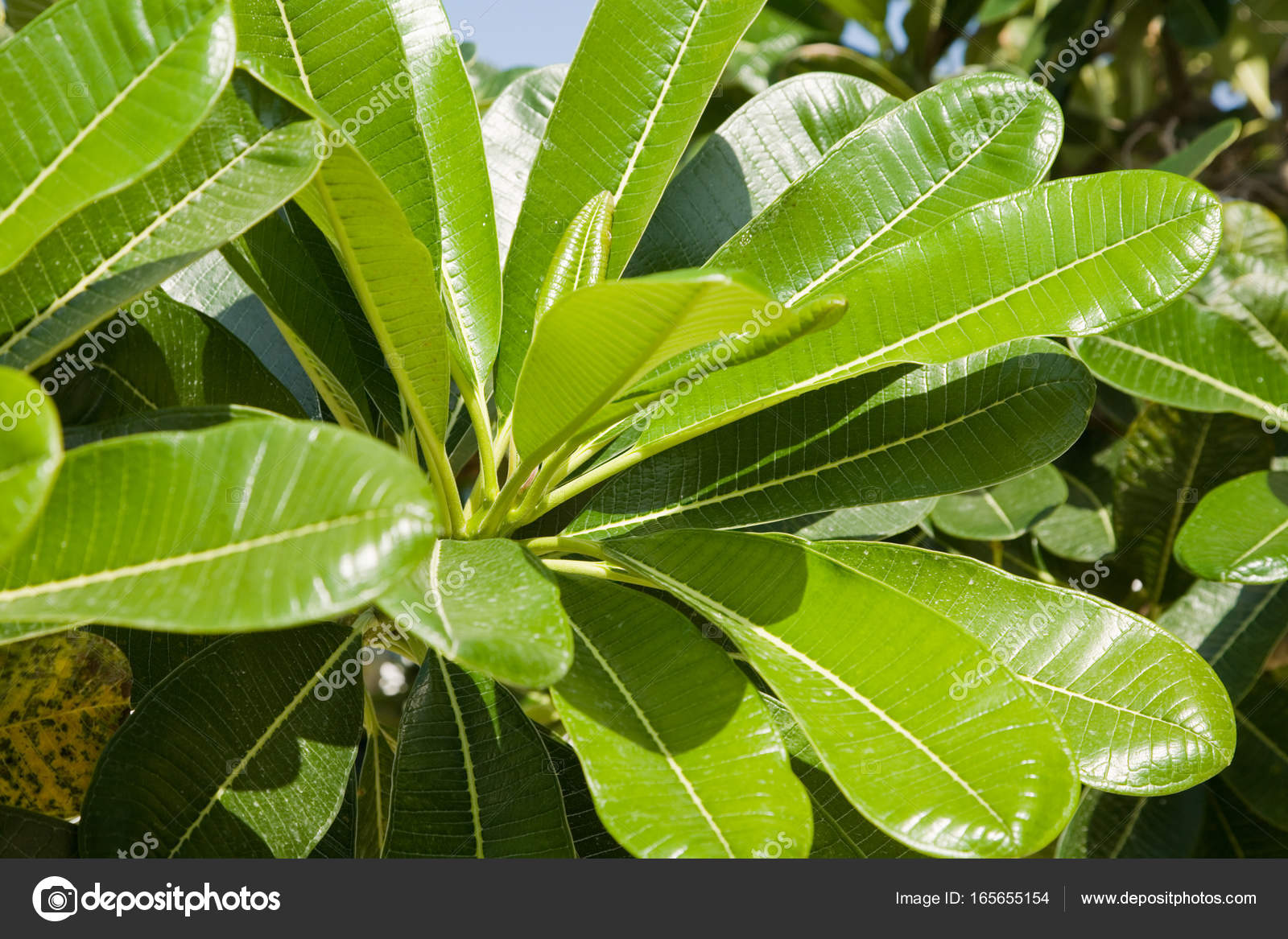 Frangipani plumeria las hojas de un rbol de hoja perenne for Caracteristicas de los arboles de hoja perenne