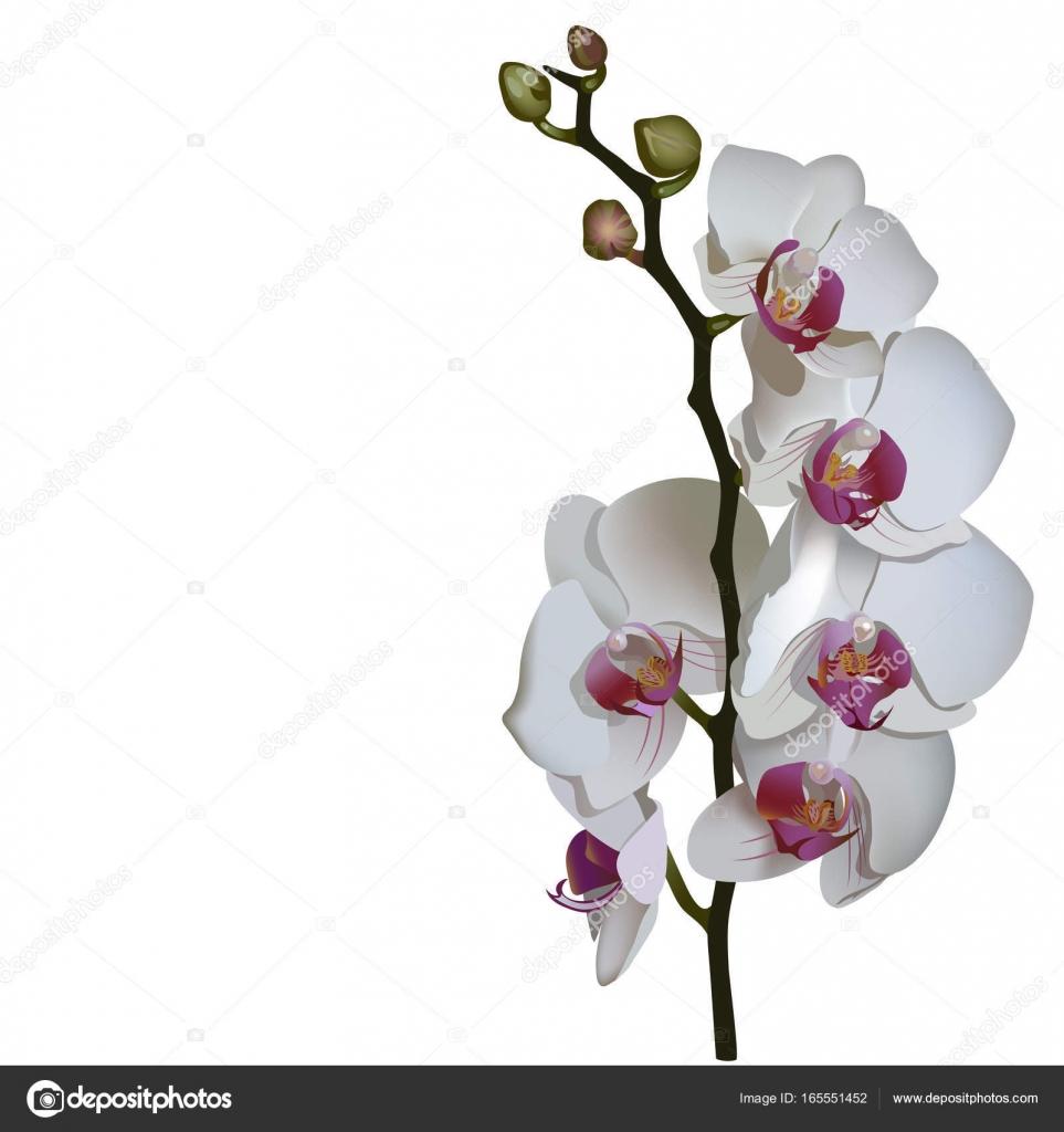 胡蝶蘭の写実的なイラスト ストックベクター Ekuksha 165551452