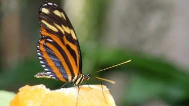Beautiful butterfly eating papaya fruit. Properly cut juicy fruits are kept for butterfly at butterfly garden and insect kingdom.