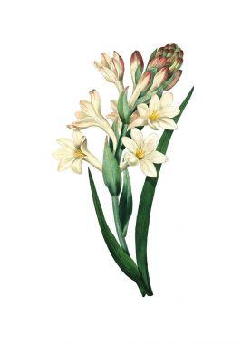 Tuberose Antique Flower Illustration