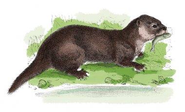 European otter antique engraving
