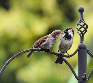 Sparrow feeding the chick