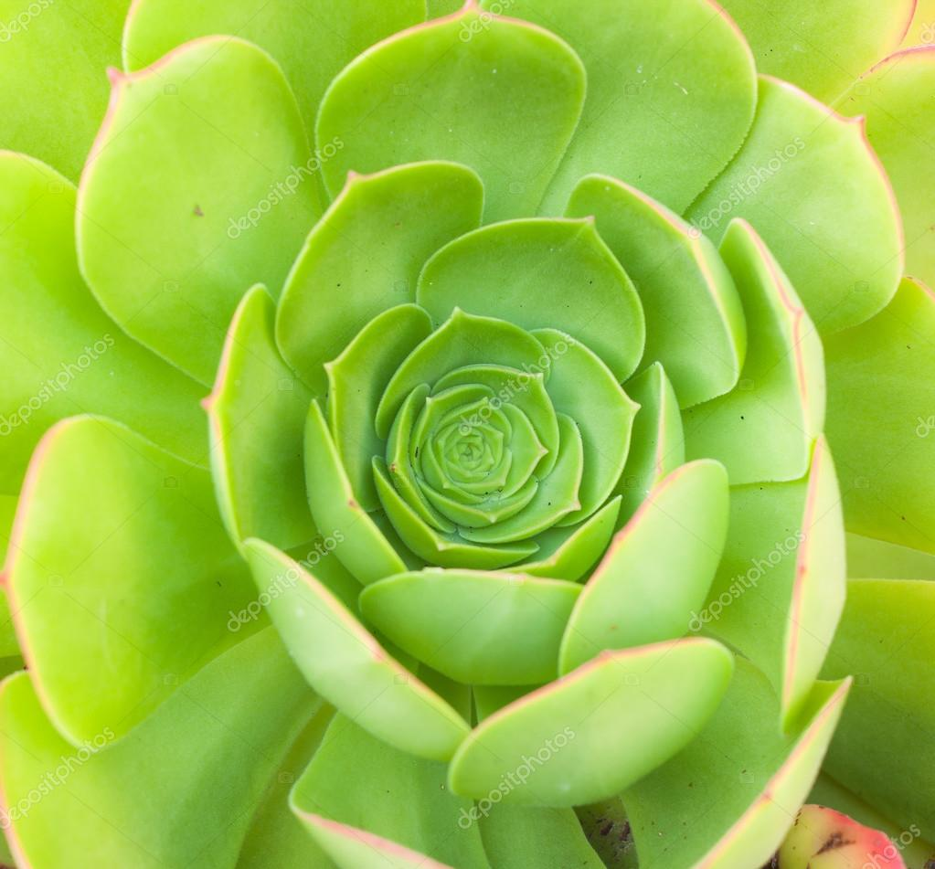 Close up of green aeonium, top view