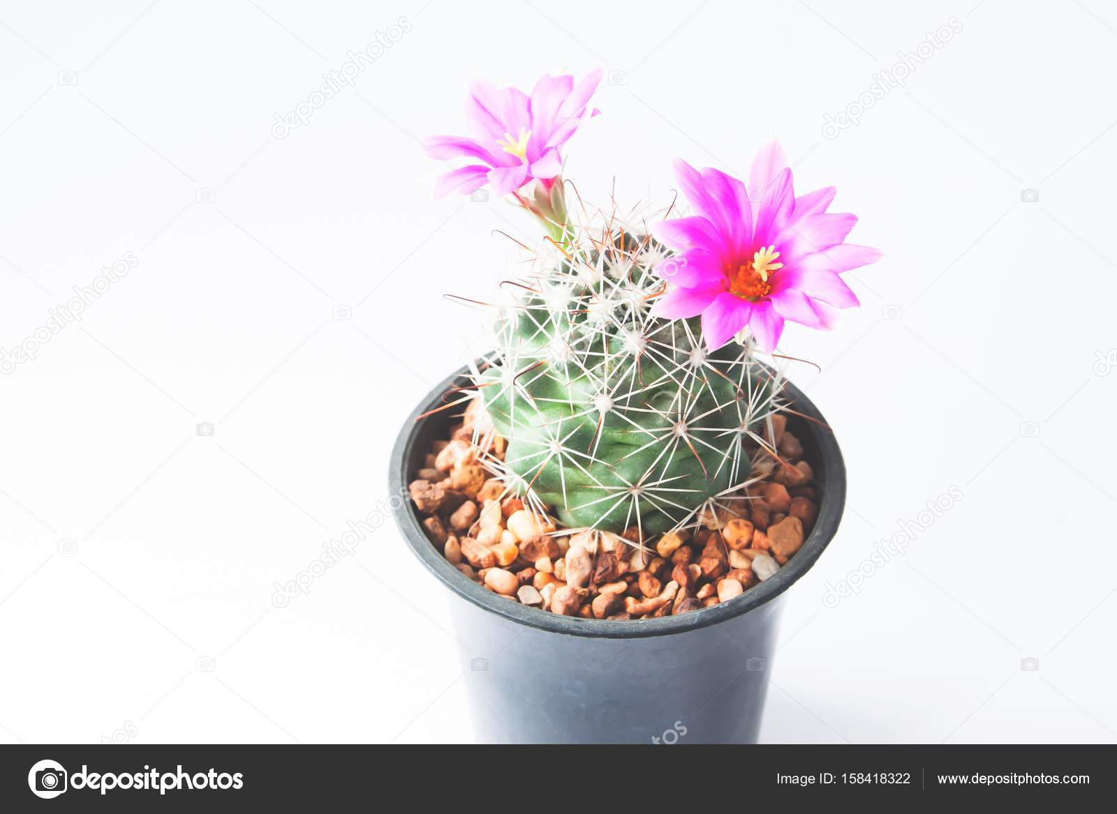 Closeup Of Cactus With Pink Flowers On White Background Stock