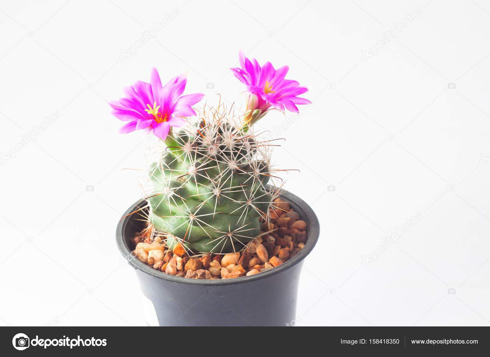 Cactus with pink flowers on white background stock photo cactus with pink flowers on white background photo by schantalao mightylinksfo