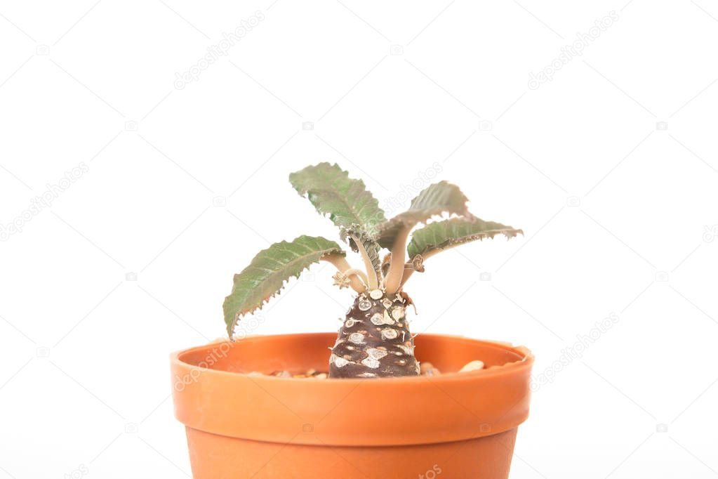One of cactus species look like coconut palm tree, Small plant