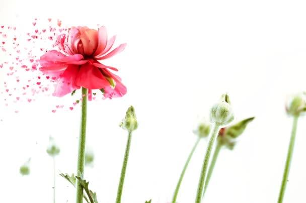 világos rózsaszín perzsa boglárka virágok Ranunculus