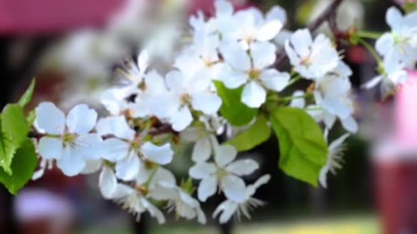 Cherry flowers blooming in springtime moving from defocus to focus. Shallow dof. Slow motion hd footage. 1920x1080 Lens: Helios 44m-4 58mm f2